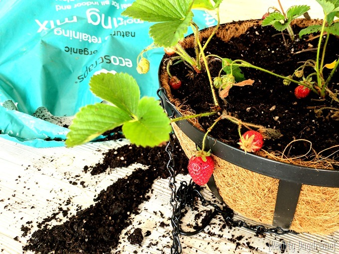 Planting strawberries in a free-standing garden planter {Reality Daydream}